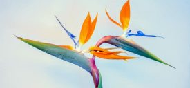 Bird of Paradise Plant Care: Best Indoor Plants