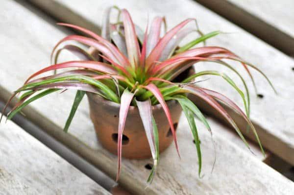 genus Tillandsia